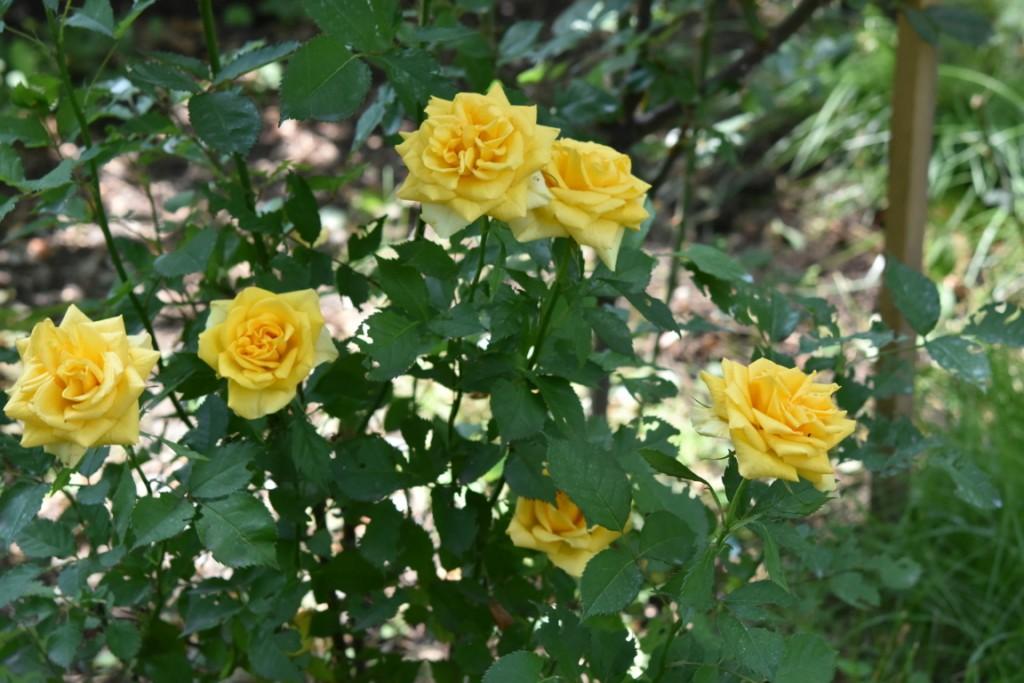 Trandafiri Gianina detalii 003 (FILEminimizer)