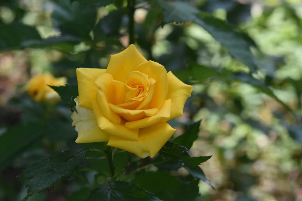 Trandafiri Gianina detalii 006 (FILEminimizer)