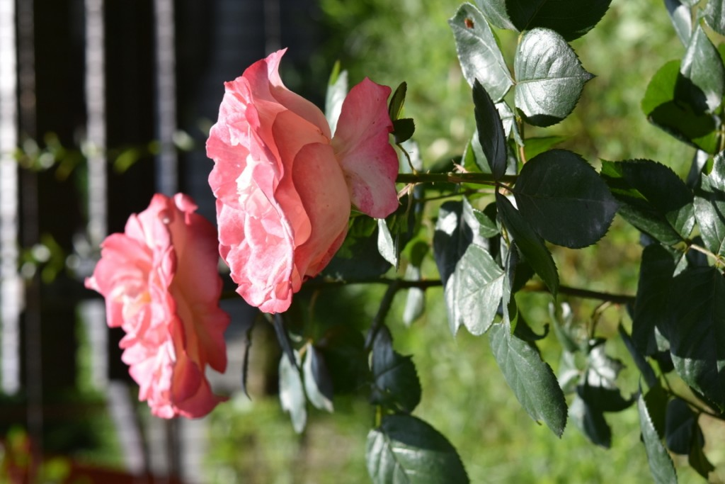 Trandafiri Gianina detalii 036 (FILEminimizer)