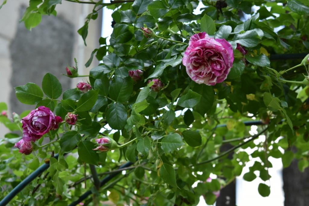 Trandafiri Gianina detalii 068 (FILEminimizer)