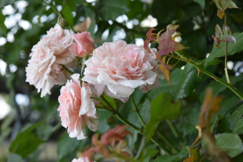 Trandafiri Gianina detalii 074 (FILEminimizer)