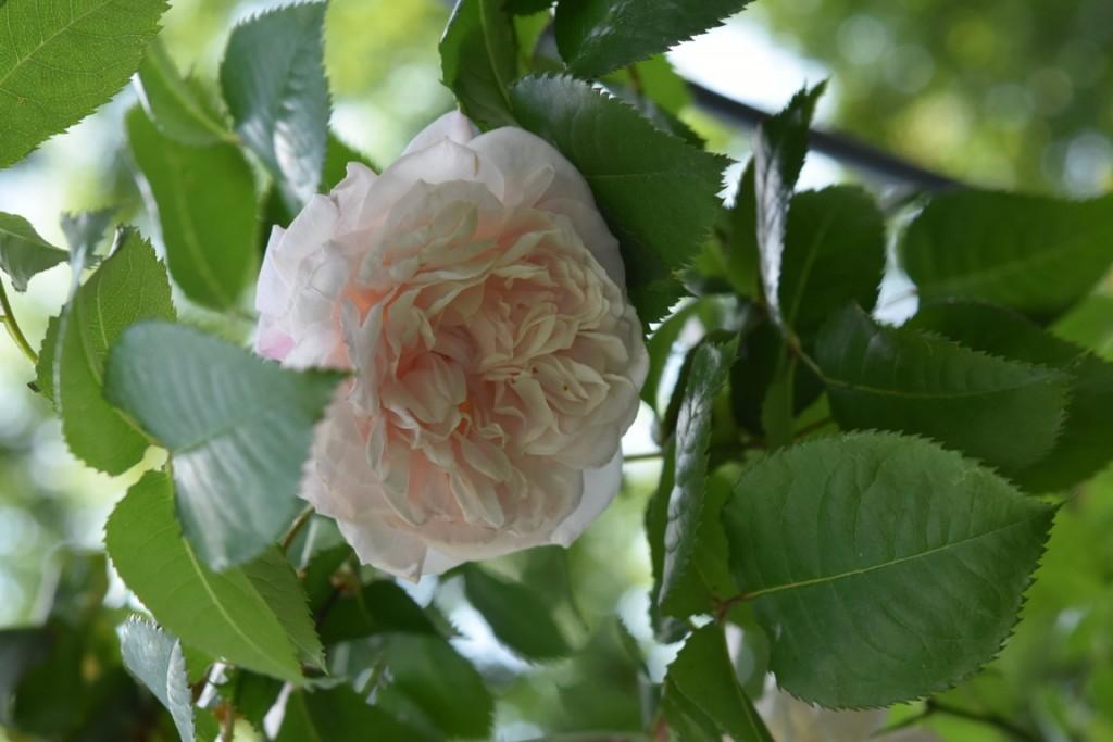 Trandafiri Gianina detalii 077 (FILEminimizer)