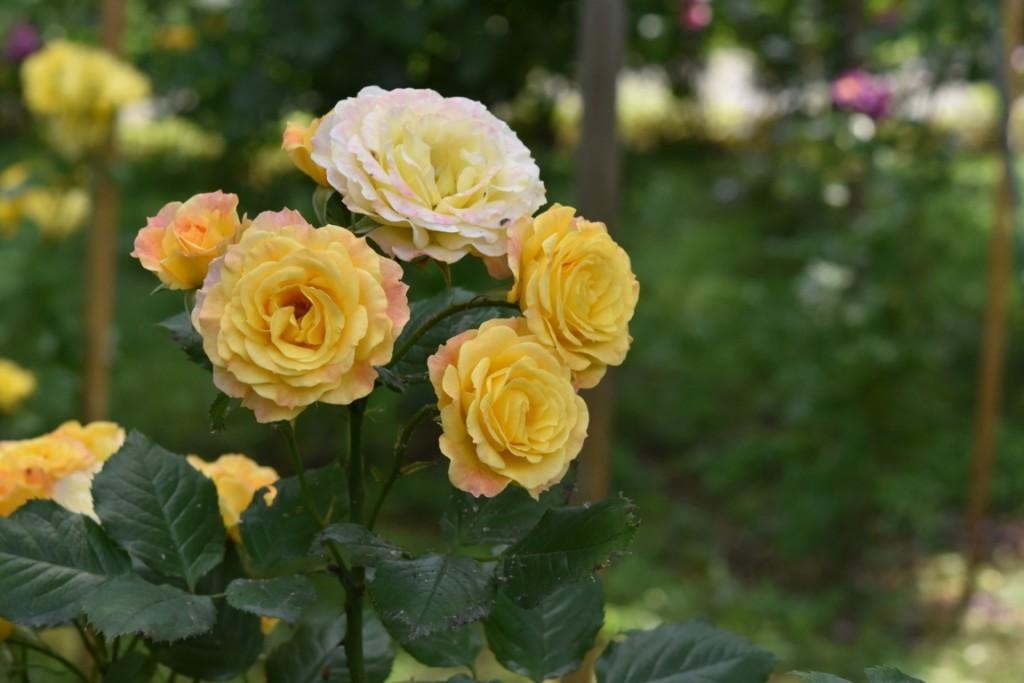 Trandafiri Gianina detalii 078 (FILEminimizer)