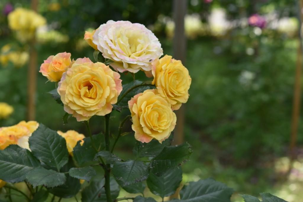 Trandafiri Gianina detalii 079 (FILEminimizer)