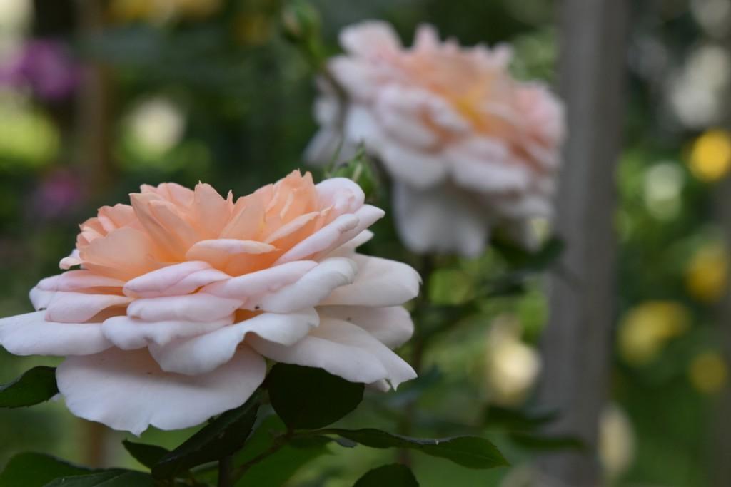 Trandafiri Gianina detalii 087 (FILEminimizer)