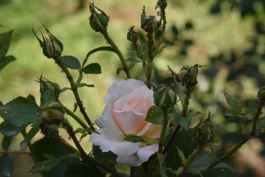 Trandafiri Gianina detalii 090 (FILEminimizer)