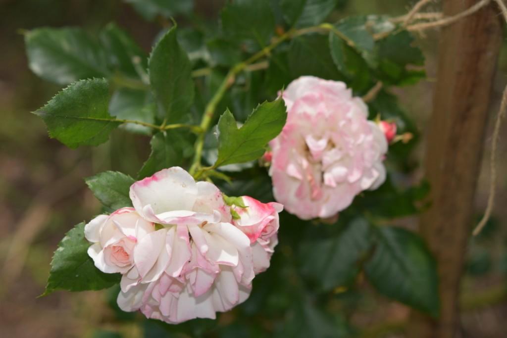 Trandafiri Gianina detalii 098 (FILEminimizer)