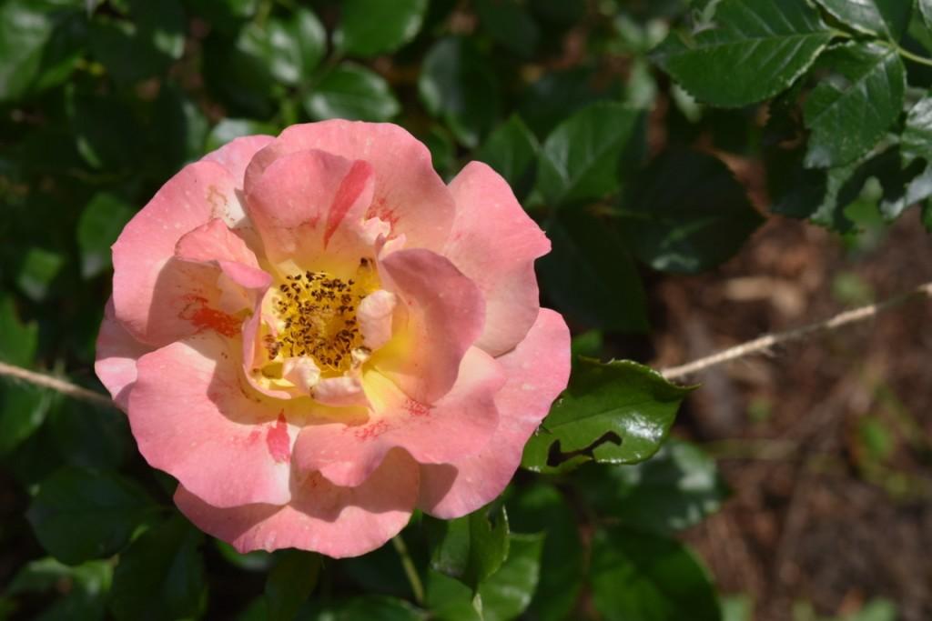 Trandafiri Gianina detalii 101 (FILEminimizer)
