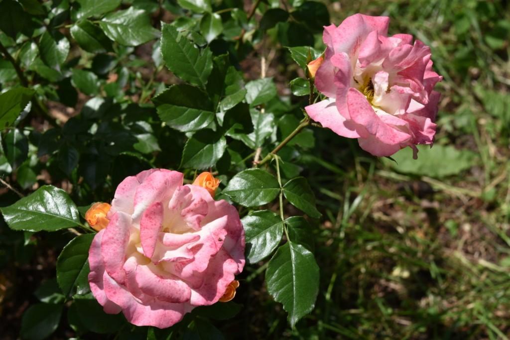 Trandafiri Gianina detalii 107 (FILEminimizer)