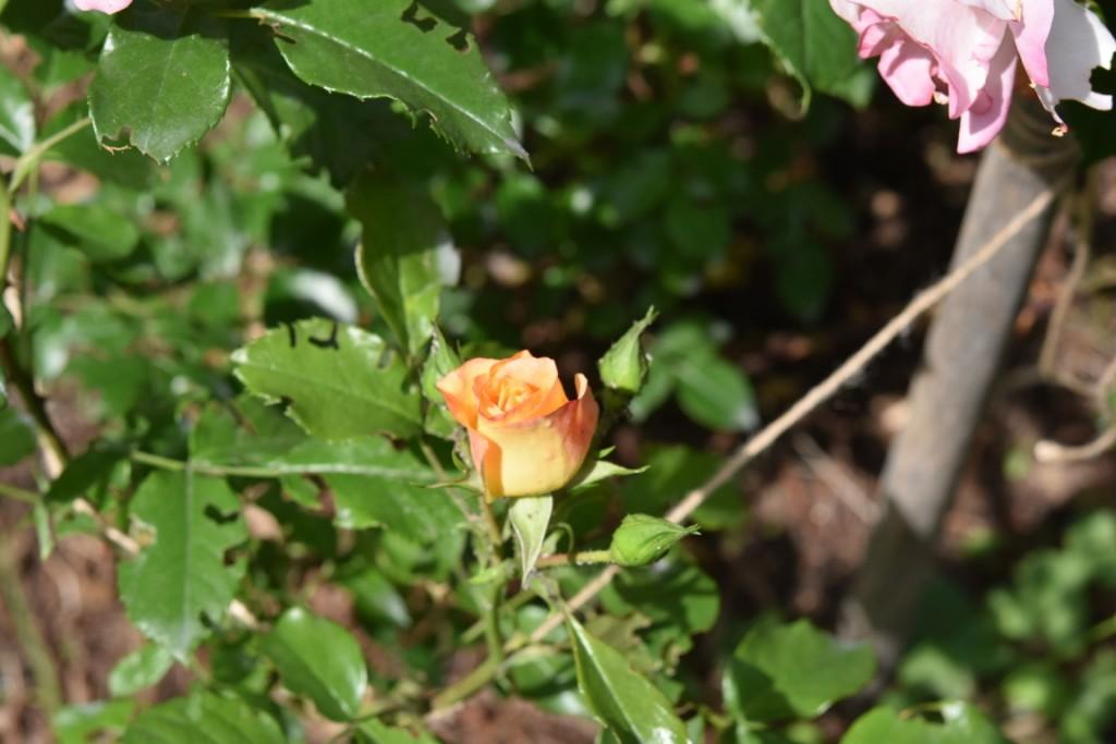 Trandafiri Gianina detalii 108 (FILEminimizer)