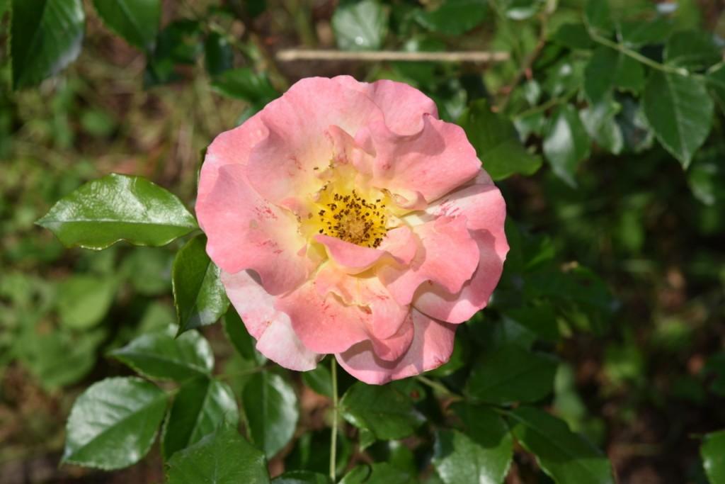 Trandafiri Gianina detalii 110 (FILEminimizer)