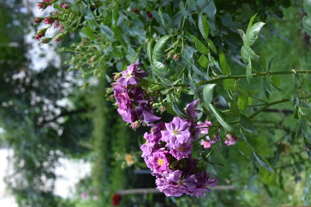 Trandafiri Gianina detalii 114 (FILEminimizer)