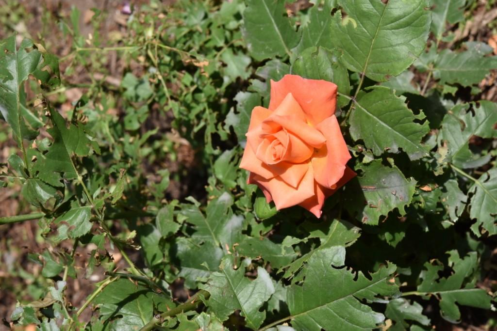 Trandafiri Gianina detalii 116 (FILEminimizer)