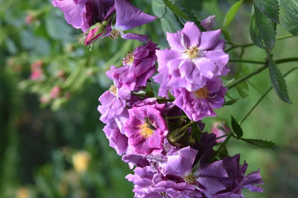 Trandafiri Gianina detalii 124 (FILEminimizer)