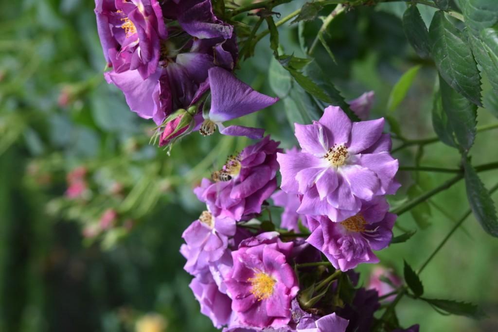 Trandafiri Gianina detalii 125 (FILEminimizer)