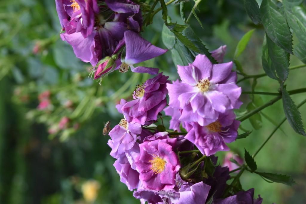 Trandafiri Gianina detalii 126 (FILEminimizer)