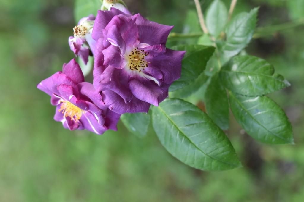 Trandafiri Gianina detalii 129 (FILEminimizer)