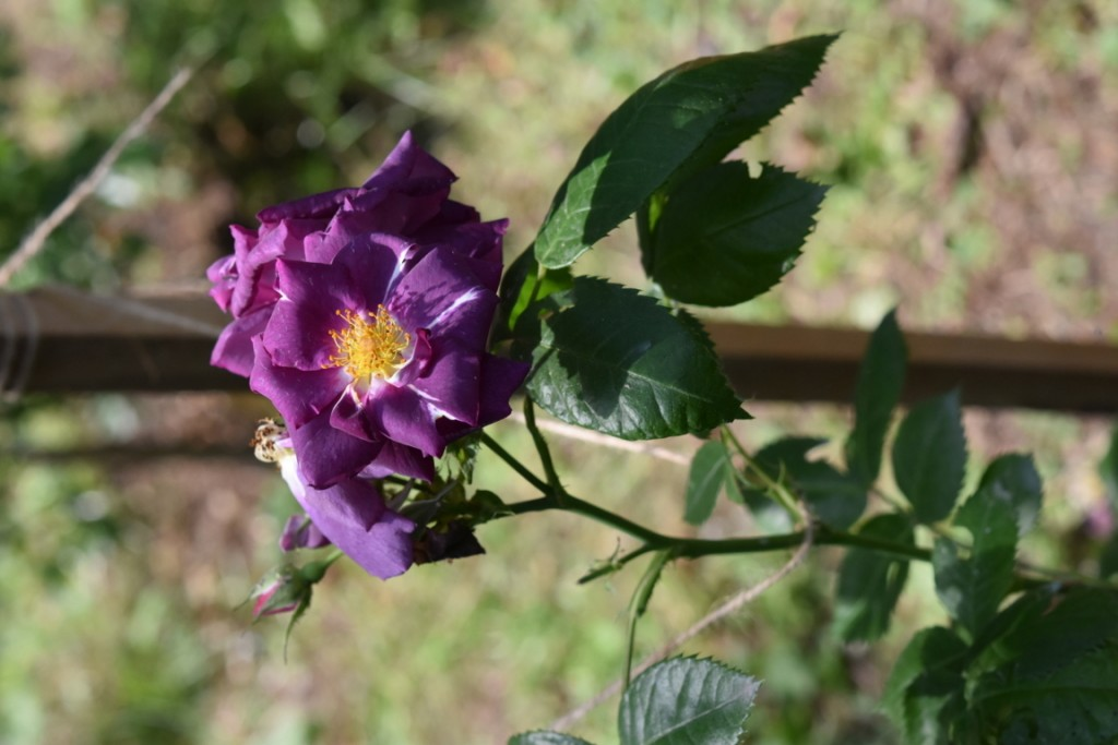 Trandafiri Gianina detalii 134 (FILEminimizer)