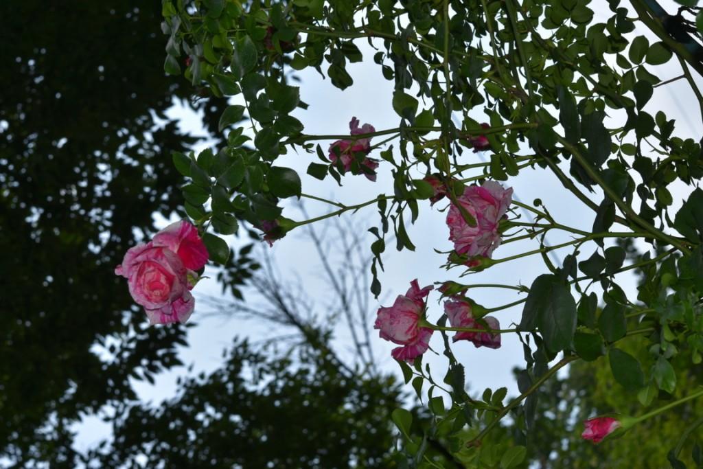 Trandafiri Gianina detalii 135 (FILEminimizer)