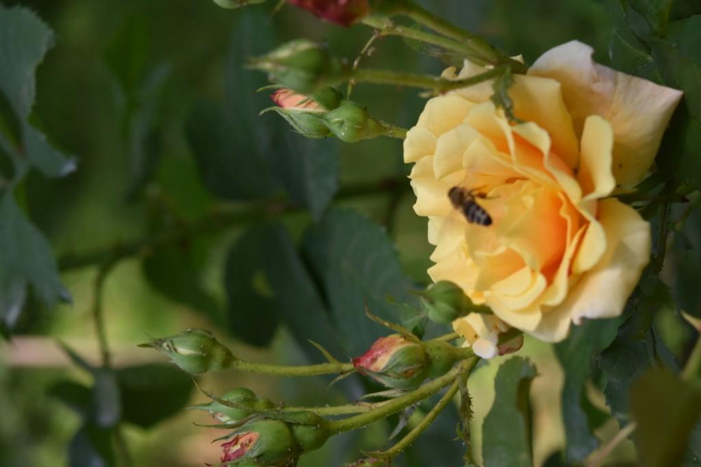 Trandafiri Gianina detalii 142 (FILEminimizer)