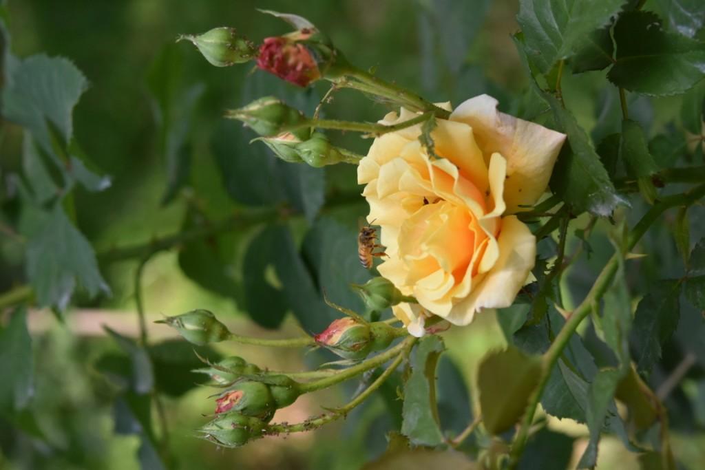 Trandafiri Gianina detalii 143 (FILEminimizer)