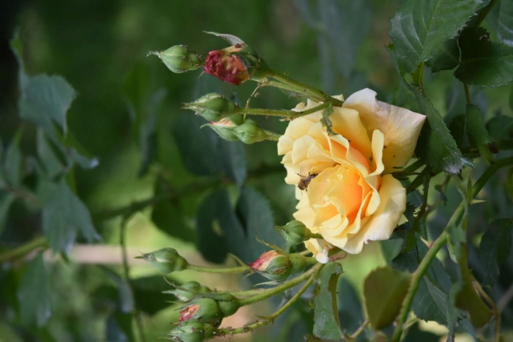 Trandafiri Gianina detalii 145 (FILEminimizer)