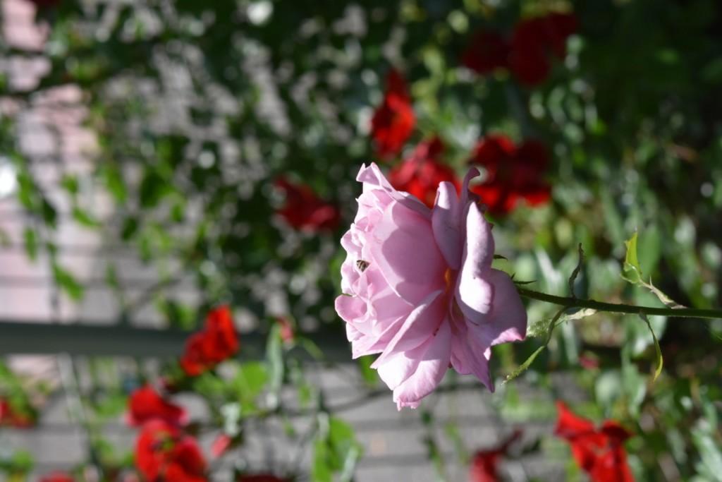 Trandafiri Gianina detalii 151 (FILEminimizer)