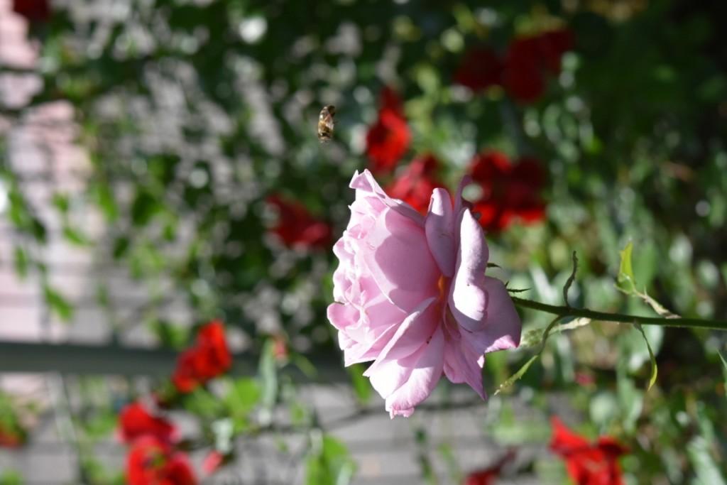 Trandafiri Gianina detalii 152 (FILEminimizer)