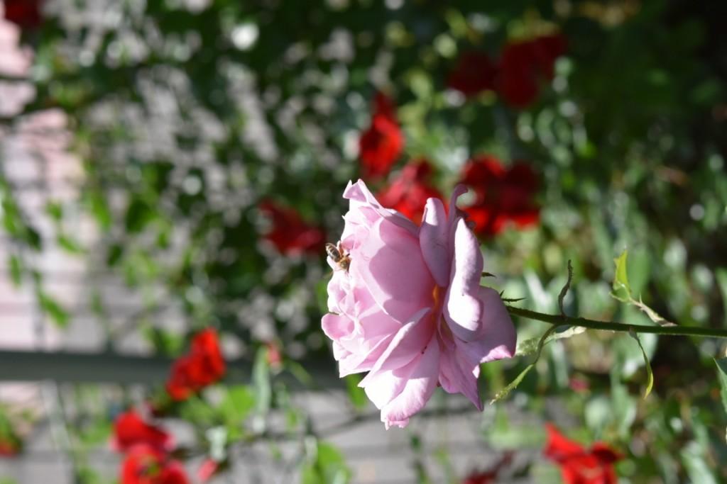 Trandafiri Gianina detalii 153 (FILEminimizer)