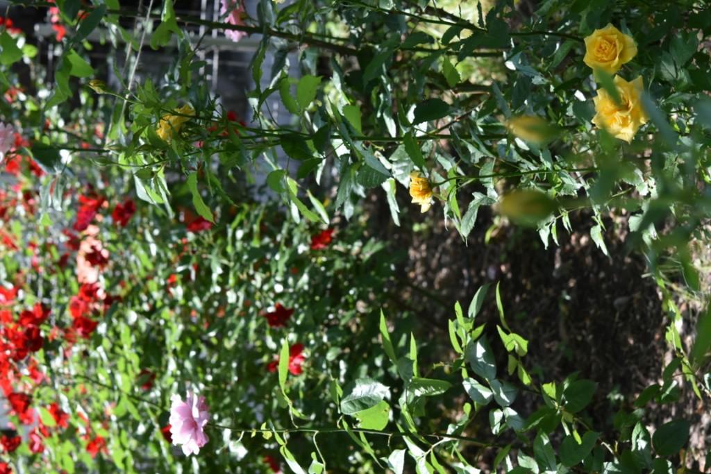 Trandafiri Gianina detalii 158 (FILEminimizer)