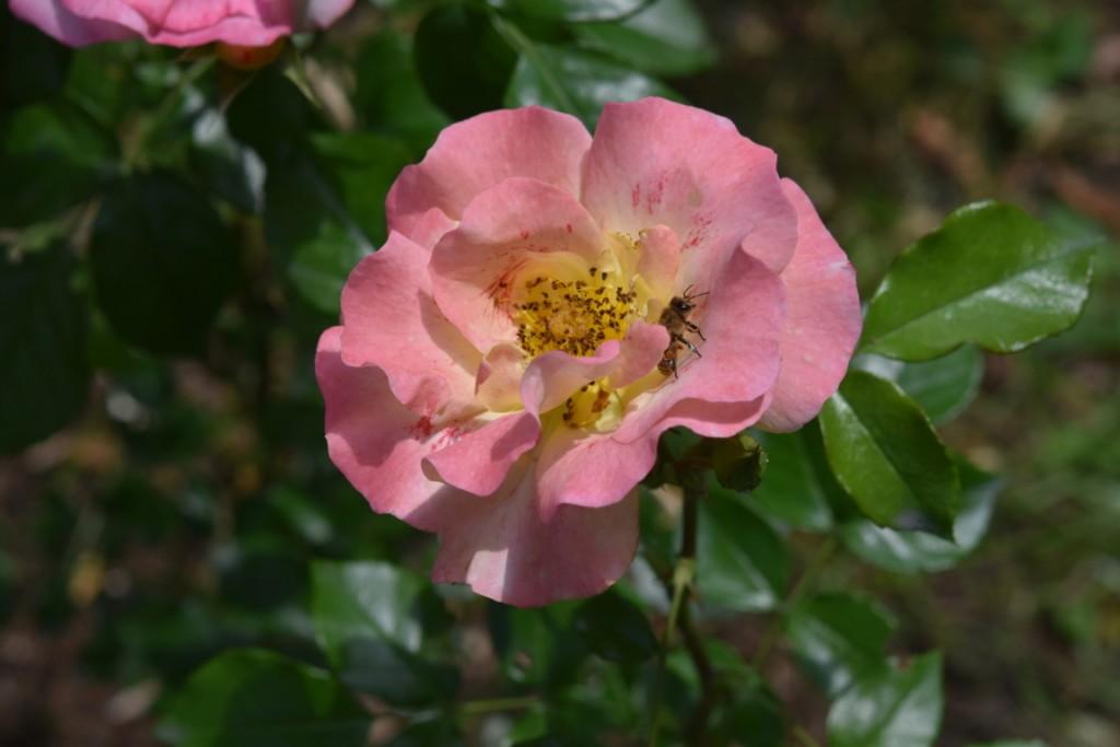 Trandafiri Gianina detalii 170 (FILEminimizer)