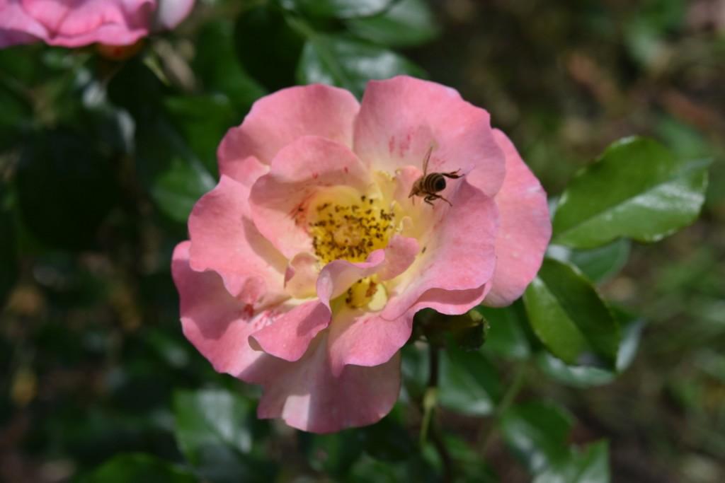 Trandafiri Gianina detalii 171 (FILEminimizer)