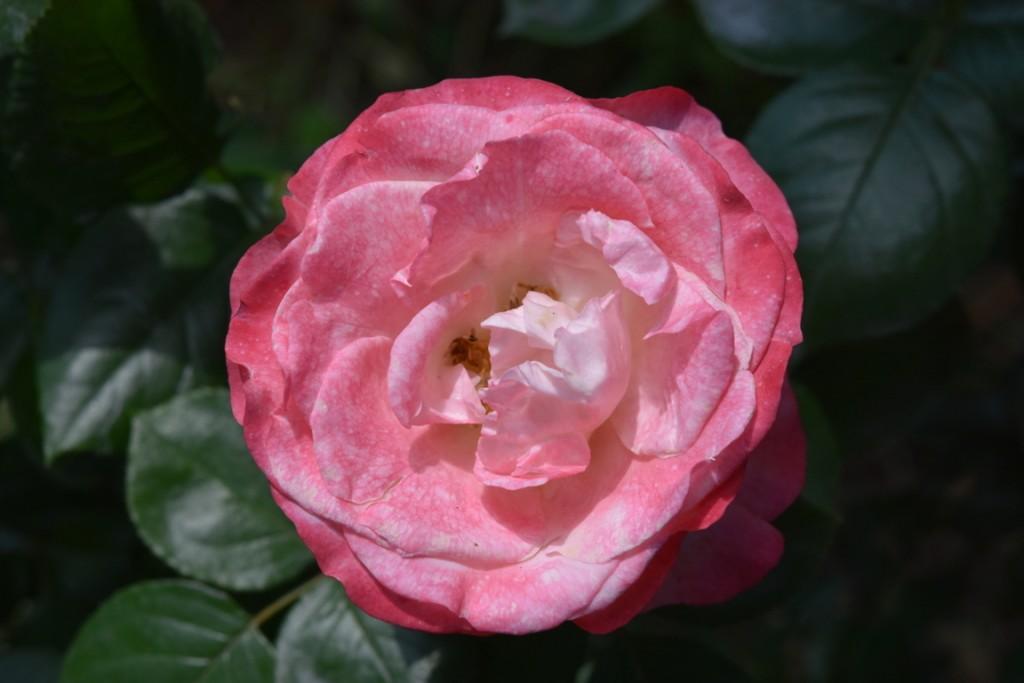 Trandafiri Gianina detalii 174 (FILEminimizer)