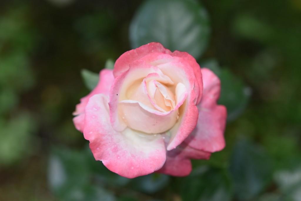 Trandafiri Gianina detalii 177 (FILEminimizer)