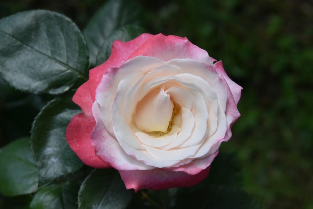 Trandafiri Gianina detalii 179 (FILEminimizer)