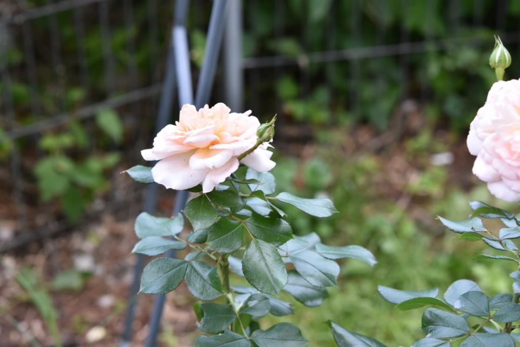 Trandafiri Gianina detalii 182 (FILEminimizer)