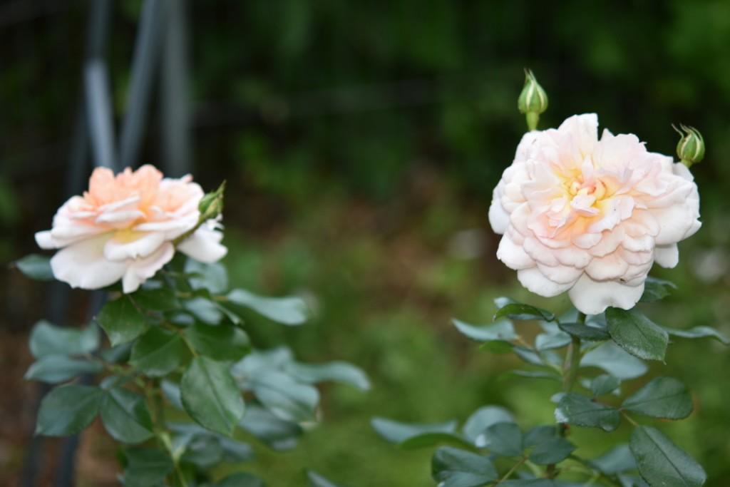 Trandafiri Gianina detalii 183 (FILEminimizer)