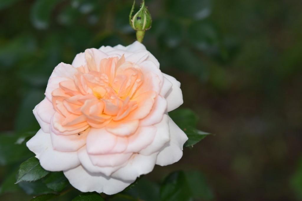 Trandafiri Gianina detalii 186 (FILEminimizer)
