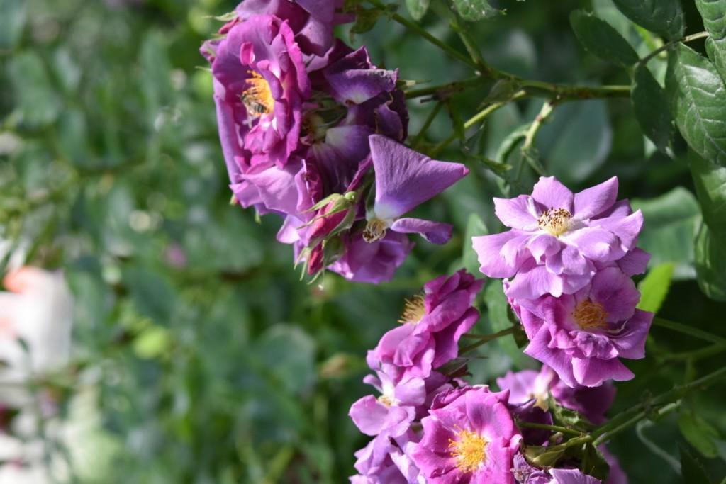 Trandafiri Gianina detalii 189 (FILEminimizer)