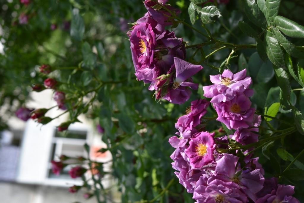 Trandafiri Gianina detalii 191 (FILEminimizer)