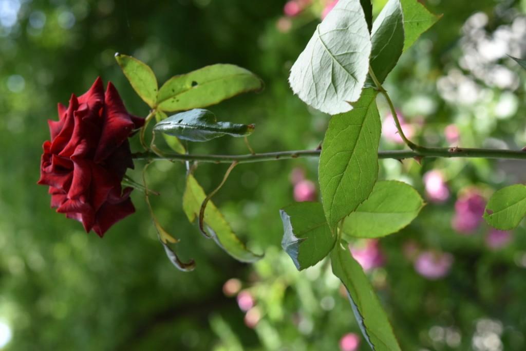 Trandafiri Gianina detalii 198 (FILEminimizer)