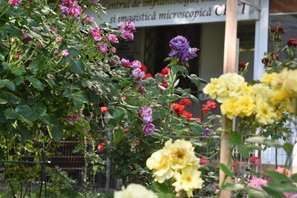 Trandafiri cu urechelnita (10) (FILEminimizer)