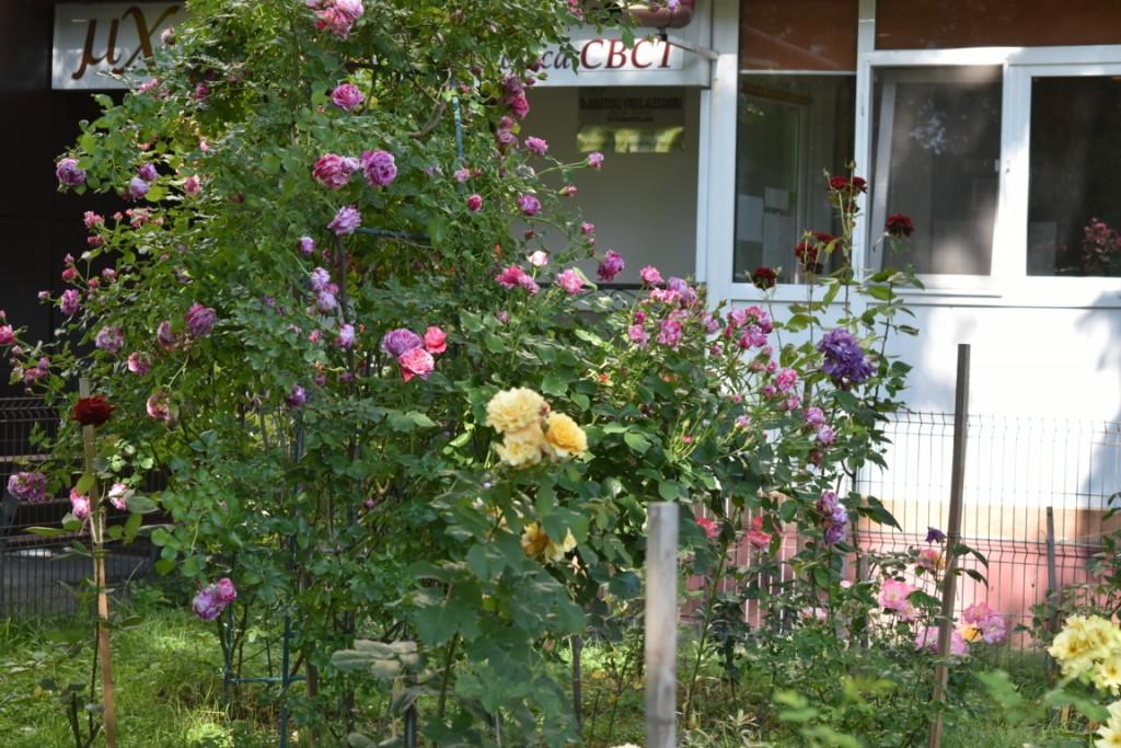 Trandafiri cu urechelnita (12) (FILEminimizer)