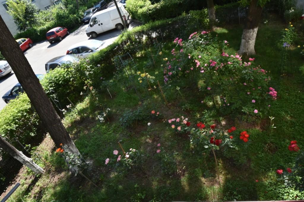 Trandafiri cu urechelnita (25) (FILEminimizer)