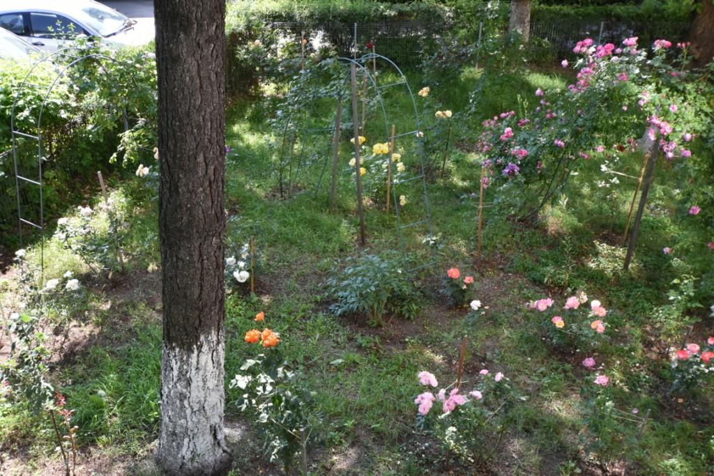 Trandafiri cu urechelnita (27) (FILEminimizer)