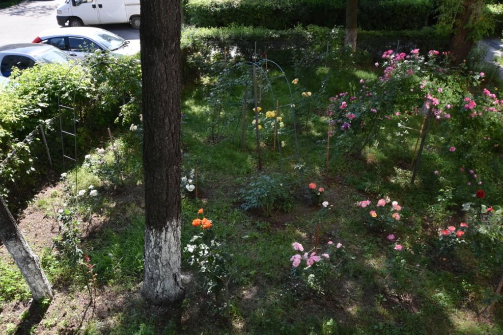 Trandafiri cu urechelnita (28) (FILEminimizer)