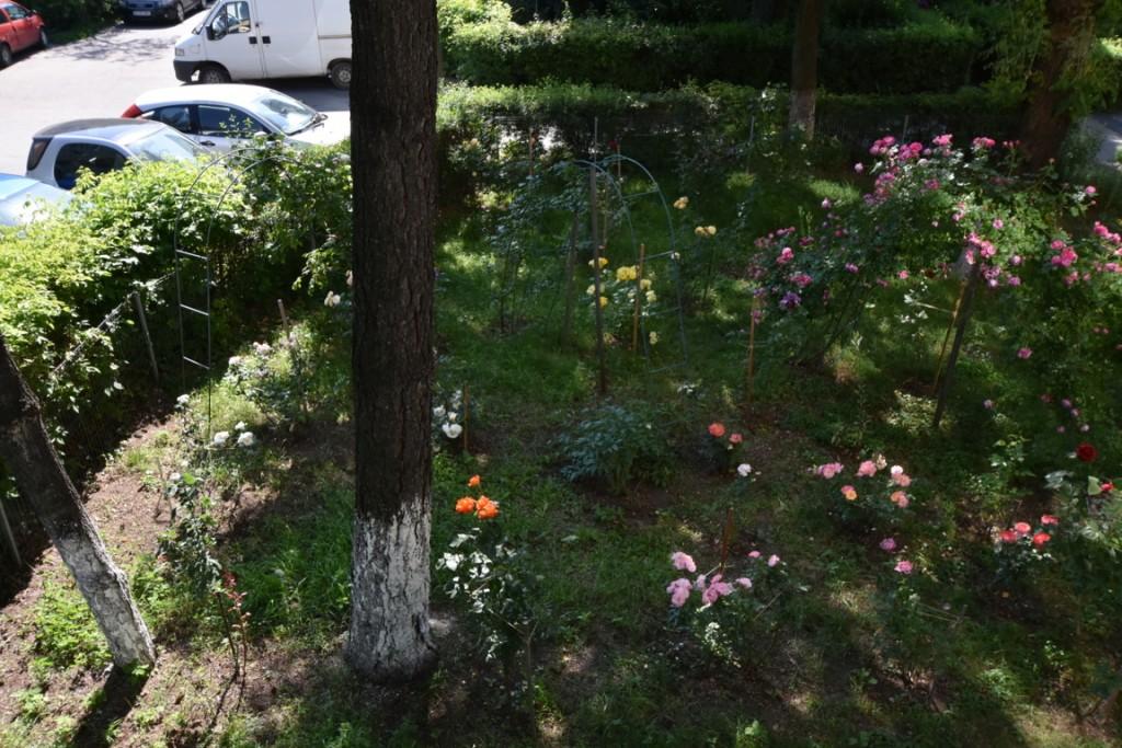 Trandafiri cu urechelnita (29) (FILEminimizer)