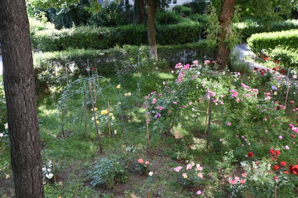 Trandafiri cu urechelnita (32) (FILEminimizer)