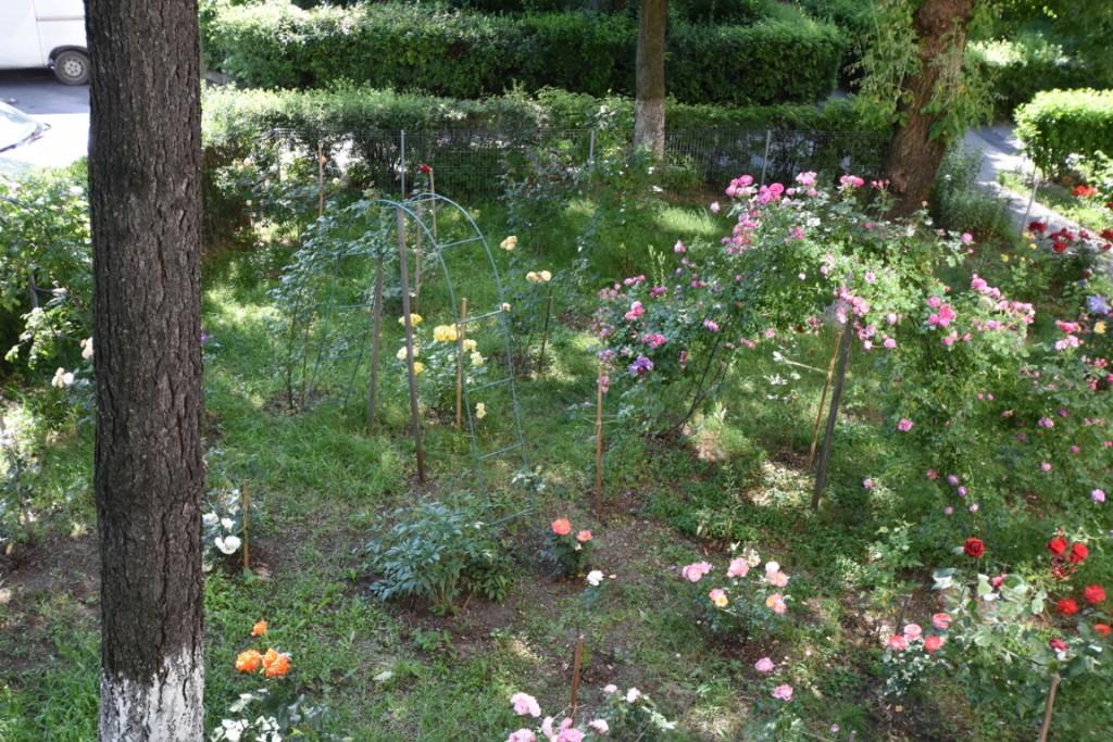 Trandafiri cu urechelnita (33) (FILEminimizer)