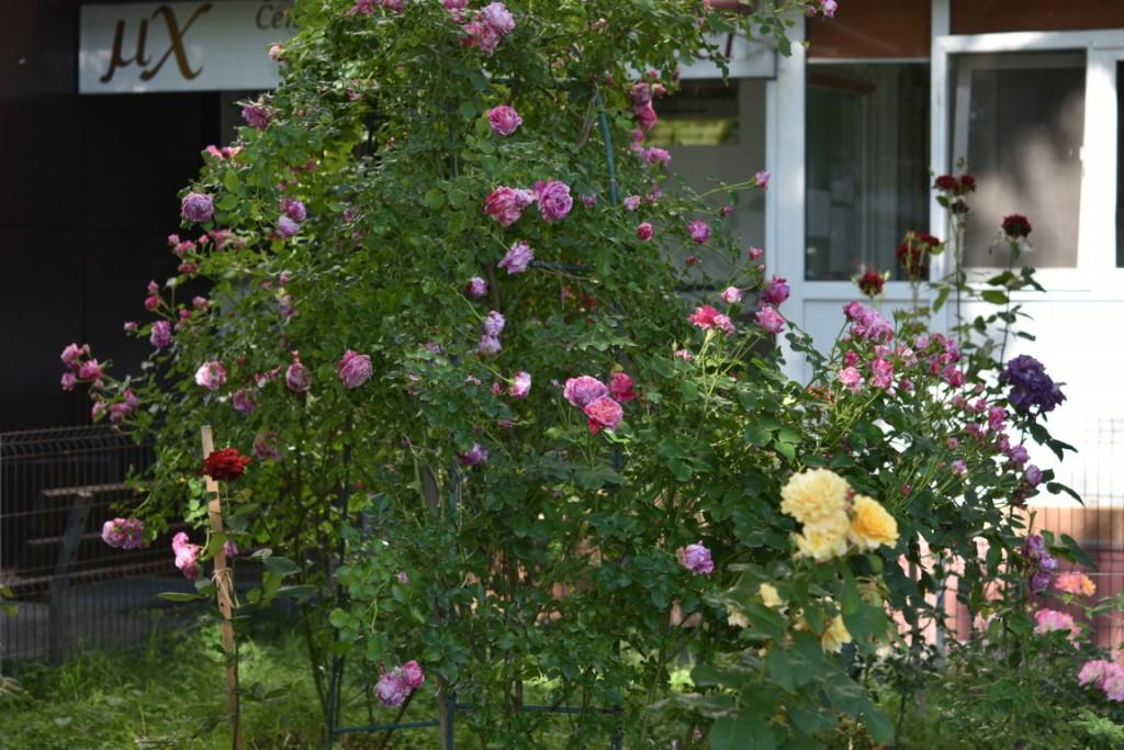 Trandafiri cu urechelnita (7) (FILEminimizer)